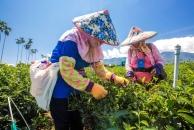 舞鶴觀光茶園採茶的人文景致
