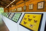 各種蝴蝶種類的標本