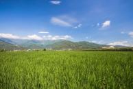 羅山有機村的稻田景觀
